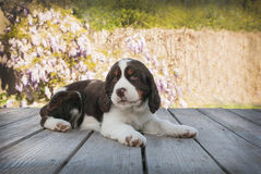 Springer spaniel puppy dog lays down on wood deck Stock Photo