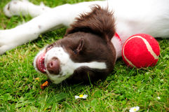 Springer spaniel puppy dog and tennis ball Royalty Free Stock Images