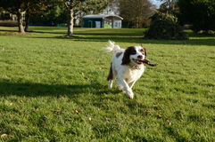 Springer spaniel returning stick in park Stock Photography