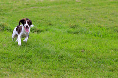 Springer Spaniel running. In the park Stock Photos
