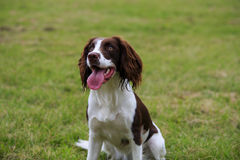 Springer Spaniel sitting. Down in a green field Stock Photography