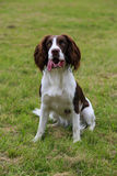 Springer Spaniel sitting. With tongue hanging out Stock Image