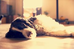 Springer Spaniel Stock Photography