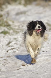 Springer spaniel in snow. A beautiful and happy Springer Spaniel dog running in the winter snow stock photo