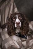 Springer Spaniel Studio Portrait Royalty Free Stock Image