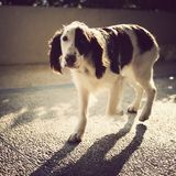 Springer Spaniel walking Royalty Free Stock Image