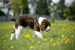 Springer Spaniel walks in the daisies Stock Image