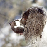 Springer Spaniel Winter Snow. Springer Spaniel outdoors in winter with snow and ice in fur royalty free stock photo