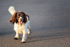 Springer spaniel. Young springer spaniel running along a path. Space for text royalty free stock photos