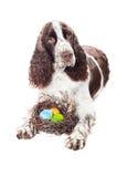 Springer Spanielhund mit Ostereiern Lizenzfreie Stockfotos