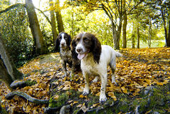 Springer Spaniels. Two English Springer Spaniel in Autumn woodland royalty free stock image
