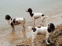 Springer spaniels on the beach. A family of springer spaniels playing by the sea on a rainy day Stock Photography