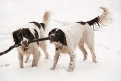 Springer spaniels in the snow Royalty Free Stock Photos