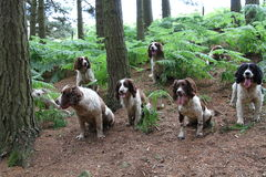 Springer spaniels wait patiently while being trained. In readiness for the grouse season, North Yorkshire, England Royalty Free Stock Image
