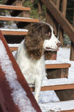 Springer on the Stairs. An English Springer Spaniel waits patiently to go inside from the snow. Tahoe Vista, California stock image