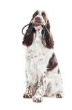 Springera spaniela pies trzyma smycz w swój usta Obraz Royalty Free