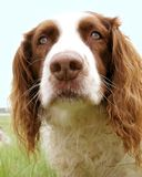 The springers nose. One of the best bomb finders in the world Royalty Free Stock Images