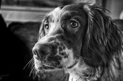 Springers Nose Royalty Free Stock Image