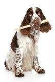 SpringerSpaniel som leker med en stick royaltyfri fotografi
