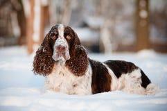 Springerspanielen förföljer i snowen Fotografering för Bildbyråer