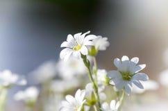 Springflower Obraz Stock