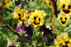 SpringFlowers01 Immagini Stock