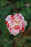 SpringFlowers02 Fotografia Stock