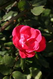 SpringFlowers09 Fotografia Stock Libera da Diritti