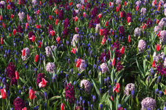 Springflowers background. Background of spring flowers - tulips, hyacinths and grape hyacinths in cool colors stock photos