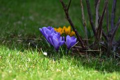 Springflowers at the meadow in spring royalty free stock image