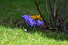 Springflowers przy łąką w wiośnie obraz royalty free