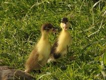 Springily kaczątko na trawie obrazy stock