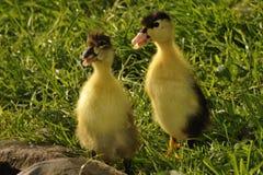 Springily kaczątko na trawie zdjęcie royalty free