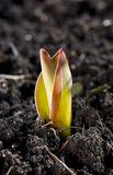 Springing flower. A photo of a small burgeoning tulip with yellowish leaves with reddish edges in a soil Stock Photos