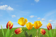 Springlike background with tulips Stock Photography
