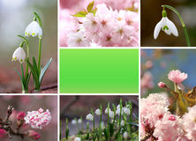 Springlike collage with cherry blossoms and snowdrops Stock Photo