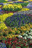 Springlike flowerbed with violas in several colors, daffodils an. Springlike flowerbed with blooming violas in several colors, daffodils and blue hyacinths Royalty Free Stock Photos