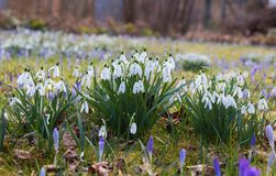 Spring meadow with snowdrops, and crocus Royalty Free Stock Image