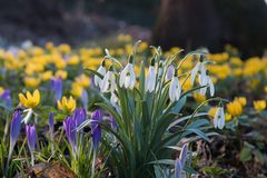 Spring meadow with snowdrops, winter aconite and crocus Royalty Free Stock Photos