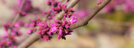 SpringRedbud Stock Photos
