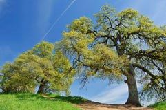 springs dębowi drzewa Zdjęcia Royalty Free