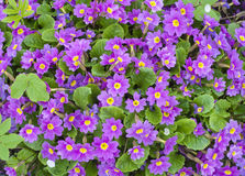 Springs flowers Primroses background Stock Photography