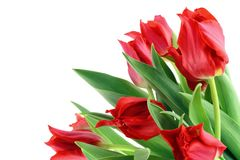 Springs Red tulips isolated Royalty Free Stock Photo