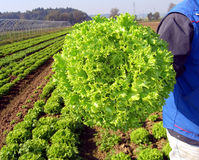 Springtame Gemüse Lizenzfreie Stockfotos
