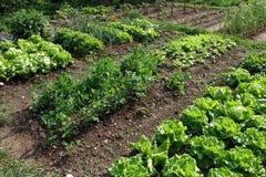 Springtame Gemüse Stockbild