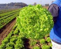 Springtame vegetables. Garden with salad Royalty Free Stock Photos