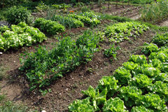 Springtame vegetables. Garden patch with salad and onion Stock Image