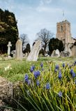 Springtim blue flowers seen growing by some old gravestones. The background shows an out of focus church in an English village. Also in view are other old Royalty Free Stock Image