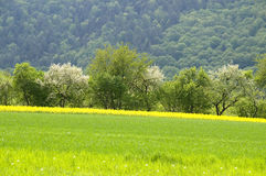 Springtime. A blooming canola field with spring trees and a forest in the background. With space for copy stock photos