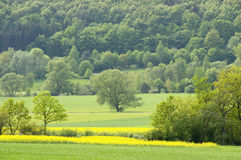 Springtime. A blooming canola field with spring trees and a forest in the background. With space for copy stock photo
